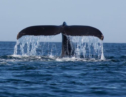Humpback Whale Season in Costa Rica