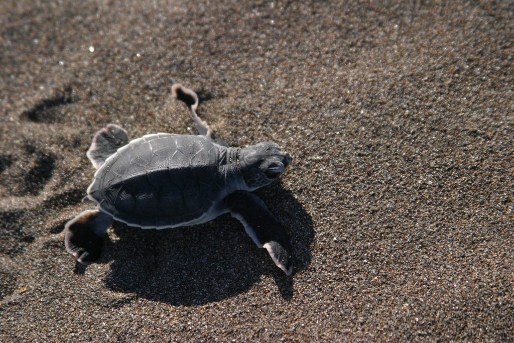 Costa-Rica-Turtle-Watching