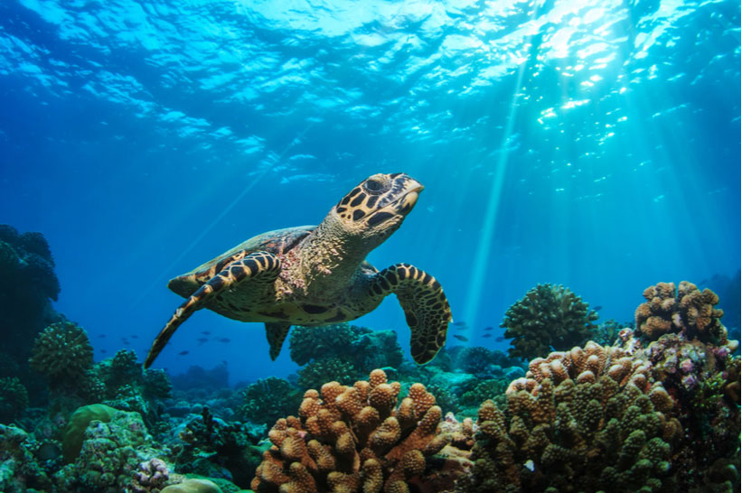 Central America Endangered Species: Sea Turtles