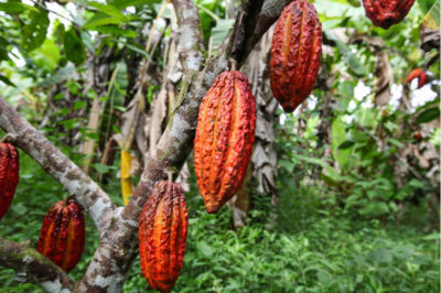 Common Commodities of Central America: Cocoa/Chocolate