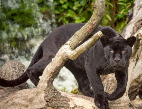 Central America Endangered Species: Black Jaguar