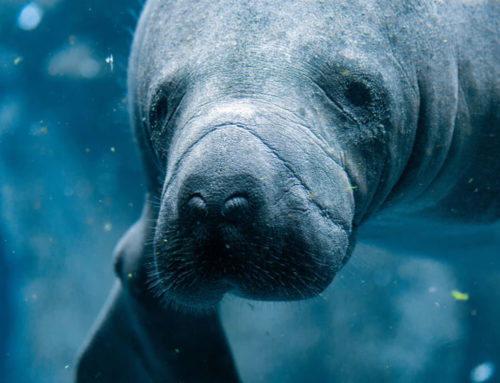 Central America Endangered Species: Manatees